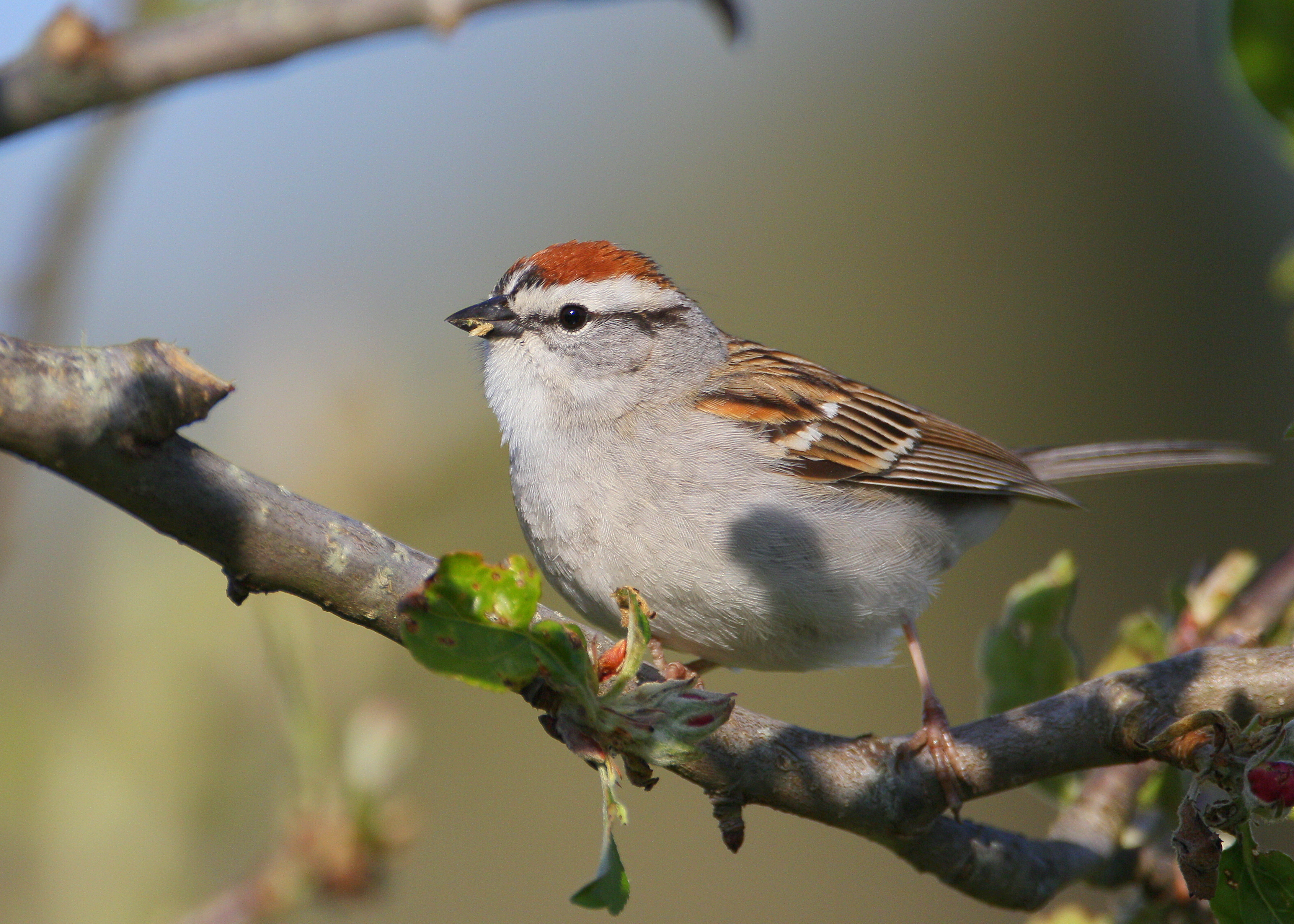 Falmouth Birds Chipping Sparrow