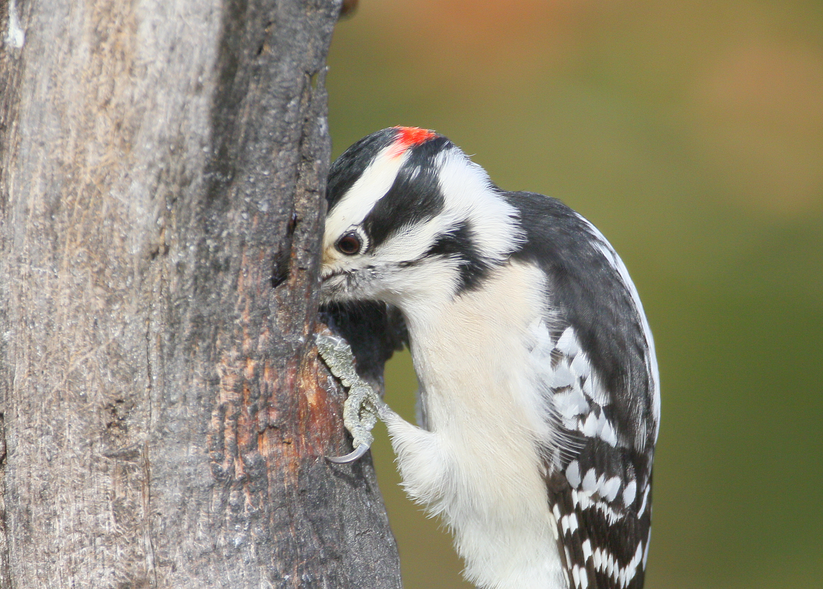 Downy Woodpecker Drumming The Downy Woodpecker is The