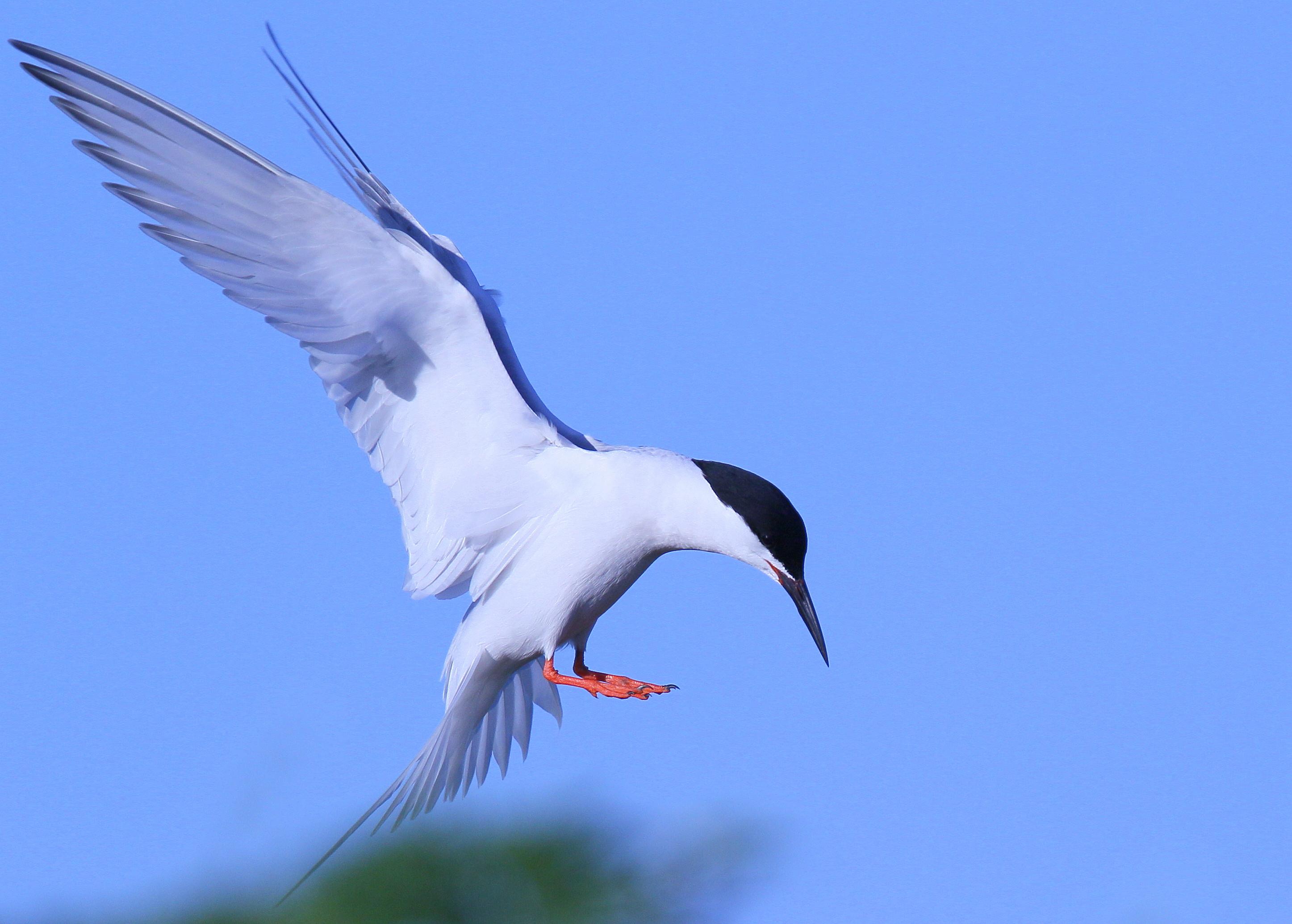 Roseate tern - photo#20