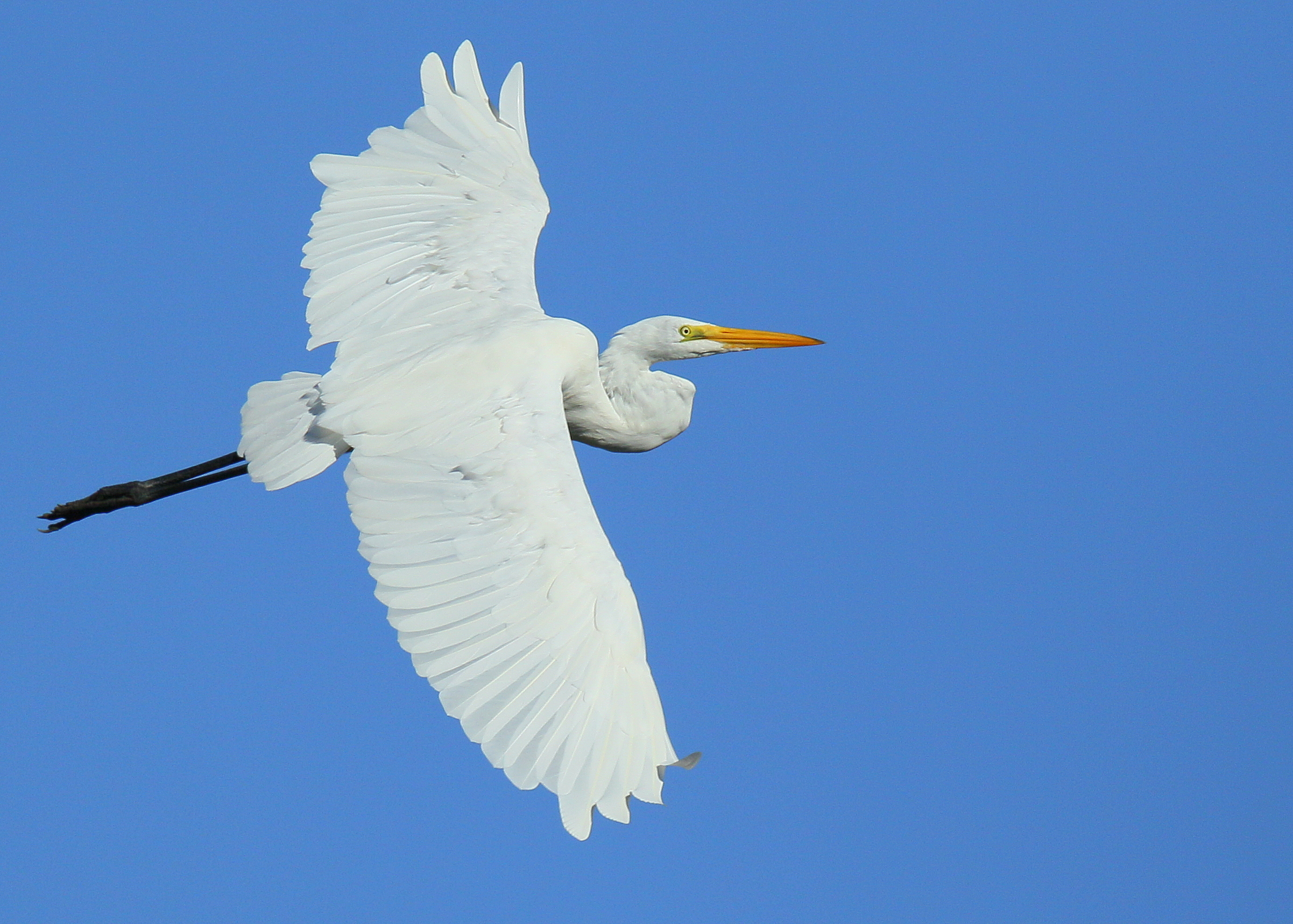 All About Birds Great Egret >> Great Egret Falmouth Birds