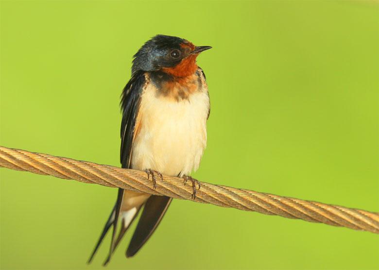Falmouth Birds Marbled Godwit