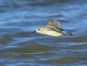blog-black-bellied-plover