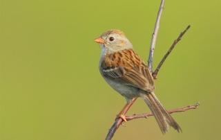 blog-field-sparrow