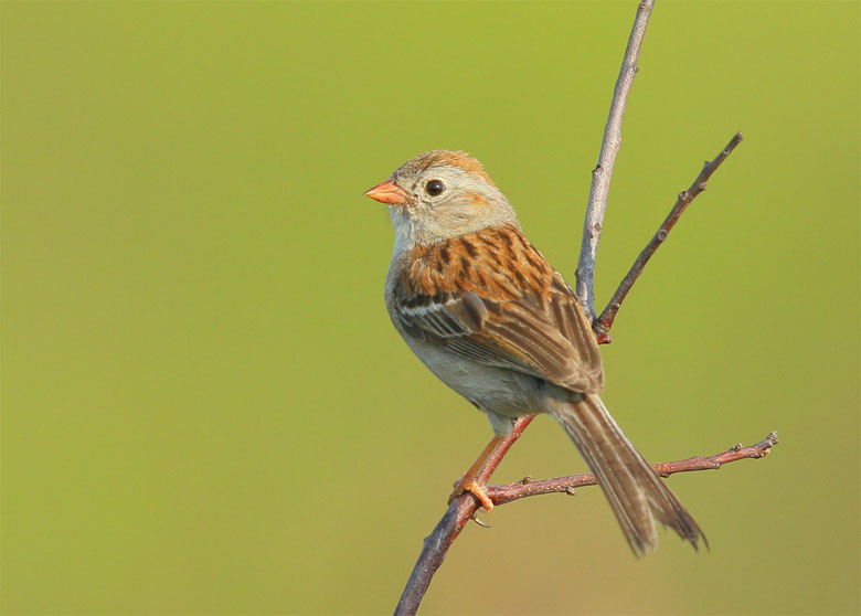 blog-field-sparrow