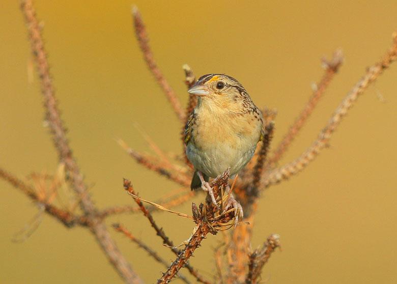 blog-grasshopper-sparrow