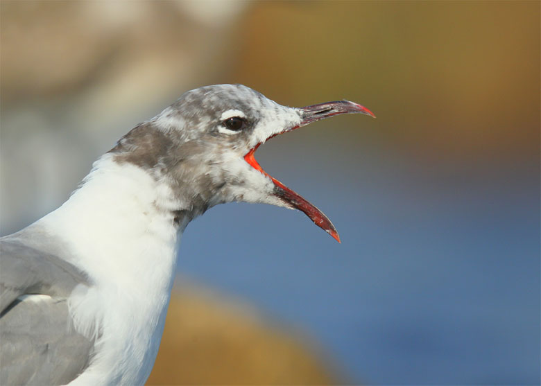 blog-laughing-gull