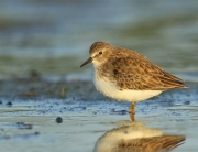 blog-least-sandpiper