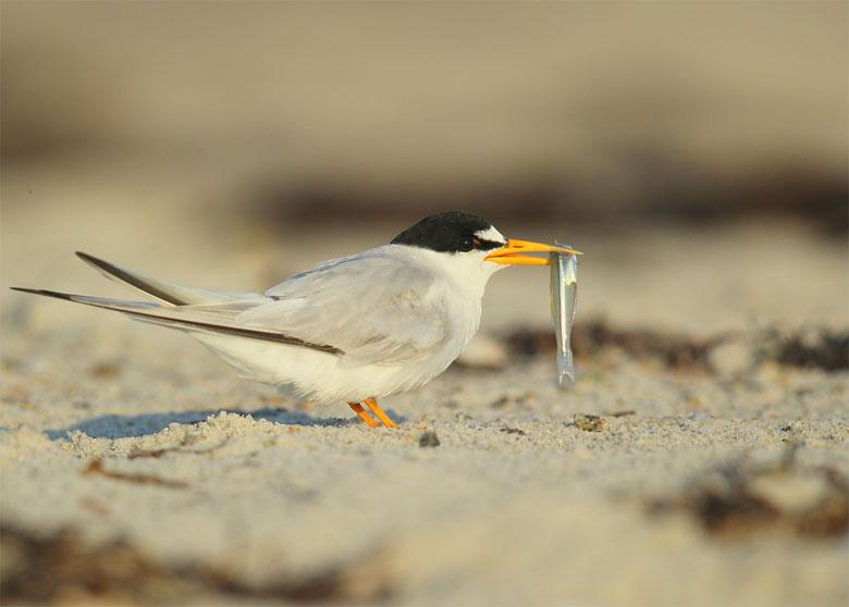 blog-least-tern