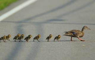 blog-mallard-mom