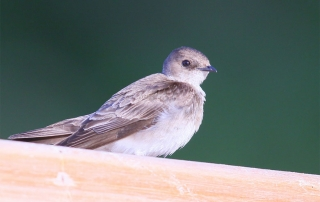 blog-northern-rough-winged-swallow