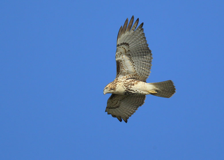 blog-red-tailed-hawk