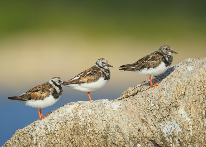 blog-ruddy-turnstones