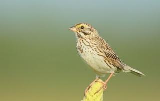 blog-savannah-sparrow