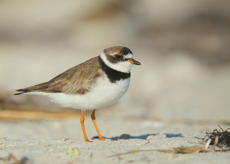 blog-semipalmated-plover