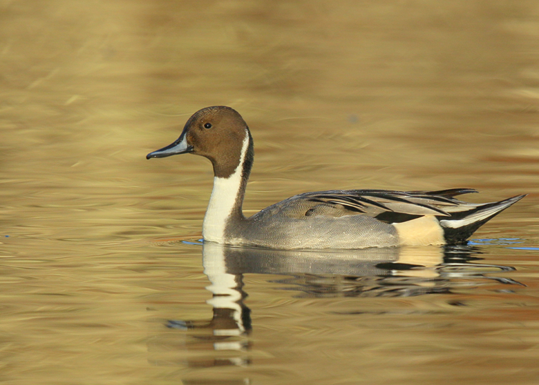 blog-northern-pintail