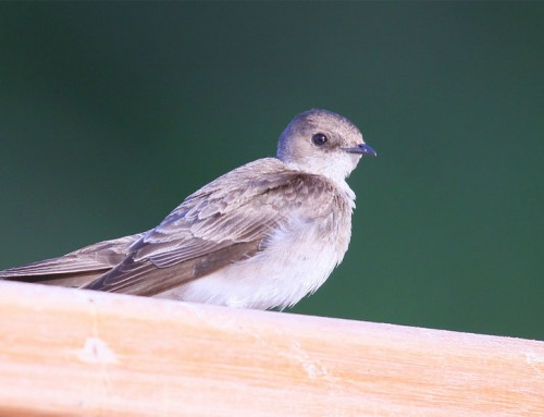 NORTHERN ROUGH-WINGED SWALLOW