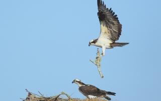 Ospreys Falmouth, MA
